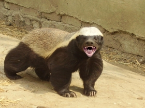 honey-badger
